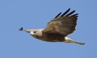 - Swainson's Hawk