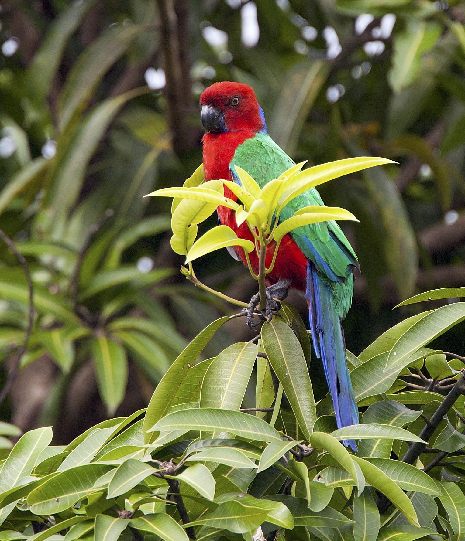 Crimson Shining-Parrot - Dan Clark
