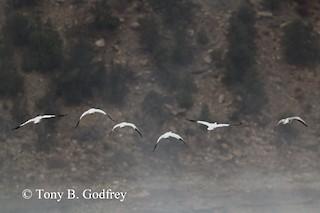 Snow Goose, ML273758061