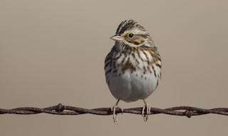 - Savannah Sparrow