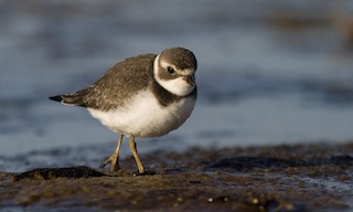 - Semipalmated Plover