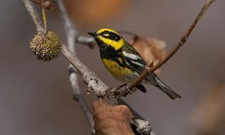 - Townsend's Warbler