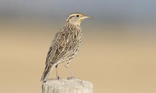 - Western Meadowlark