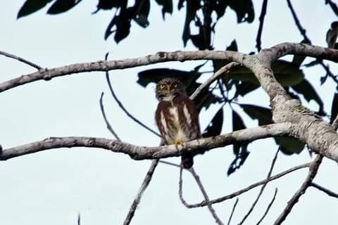 Subtropical Pygmy-Owl