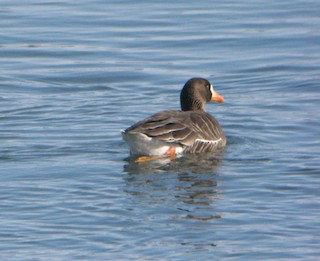 Greater White-fronted Goose (Greenland), ML274224881