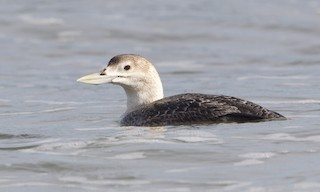 - Yellow-billed Loon