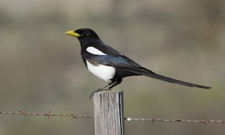 - Yellow-billed Magpie
