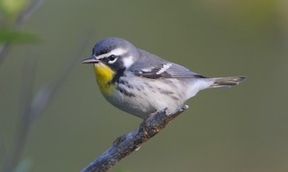 - Yellow-throated Warbler