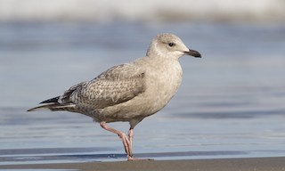- Iceland Gull (Thayer's)