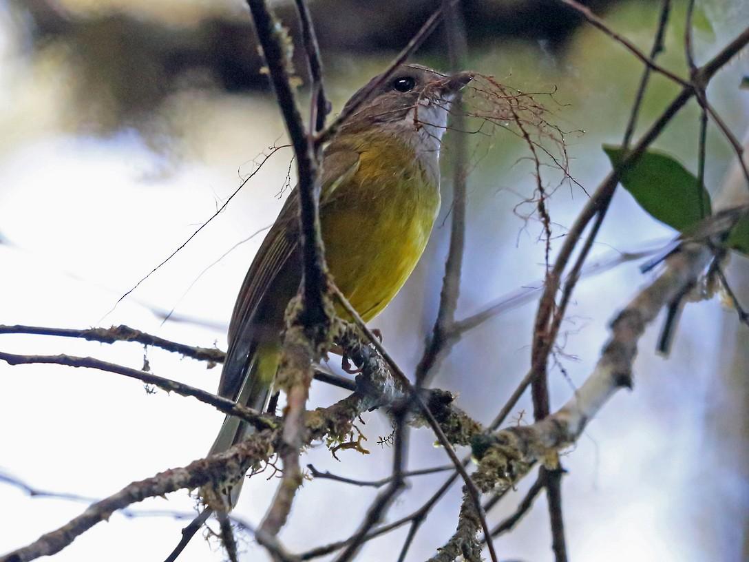 Vogelkop Whistler - Nigel Voaden