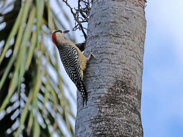 Male (subspecies <em>murceus</em>).
