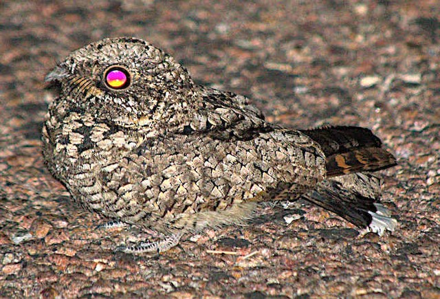 ©Steve and Sue Whitmer - Common Poorwill