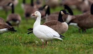 Snow Goose, ML274816191