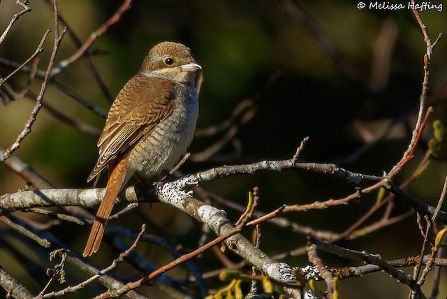 ©Melissa Hafting - Red-backed Shrike