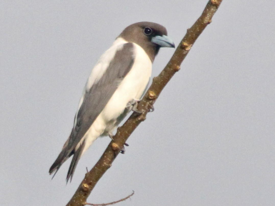 Ivory-backed Woodswallow - Don Roberson