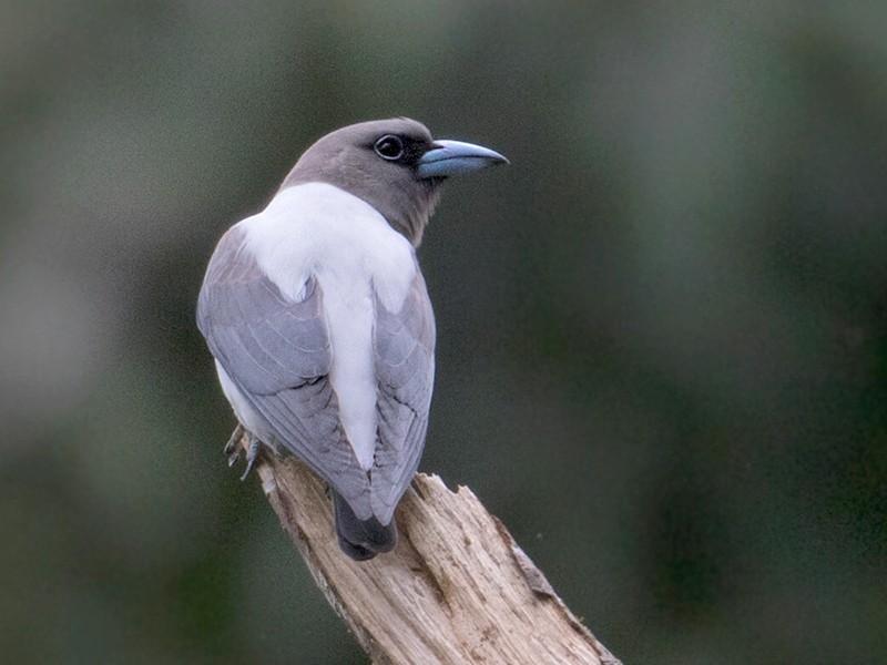 Ivory-backed Woodswallow - Sam Woods