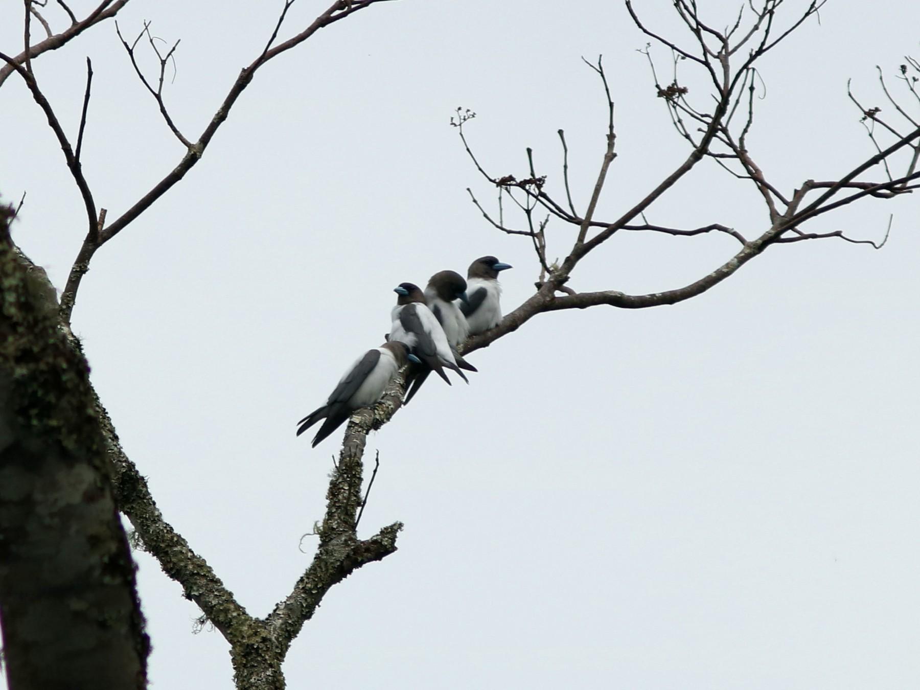 Ivory-backed Woodswallow - John Drummond