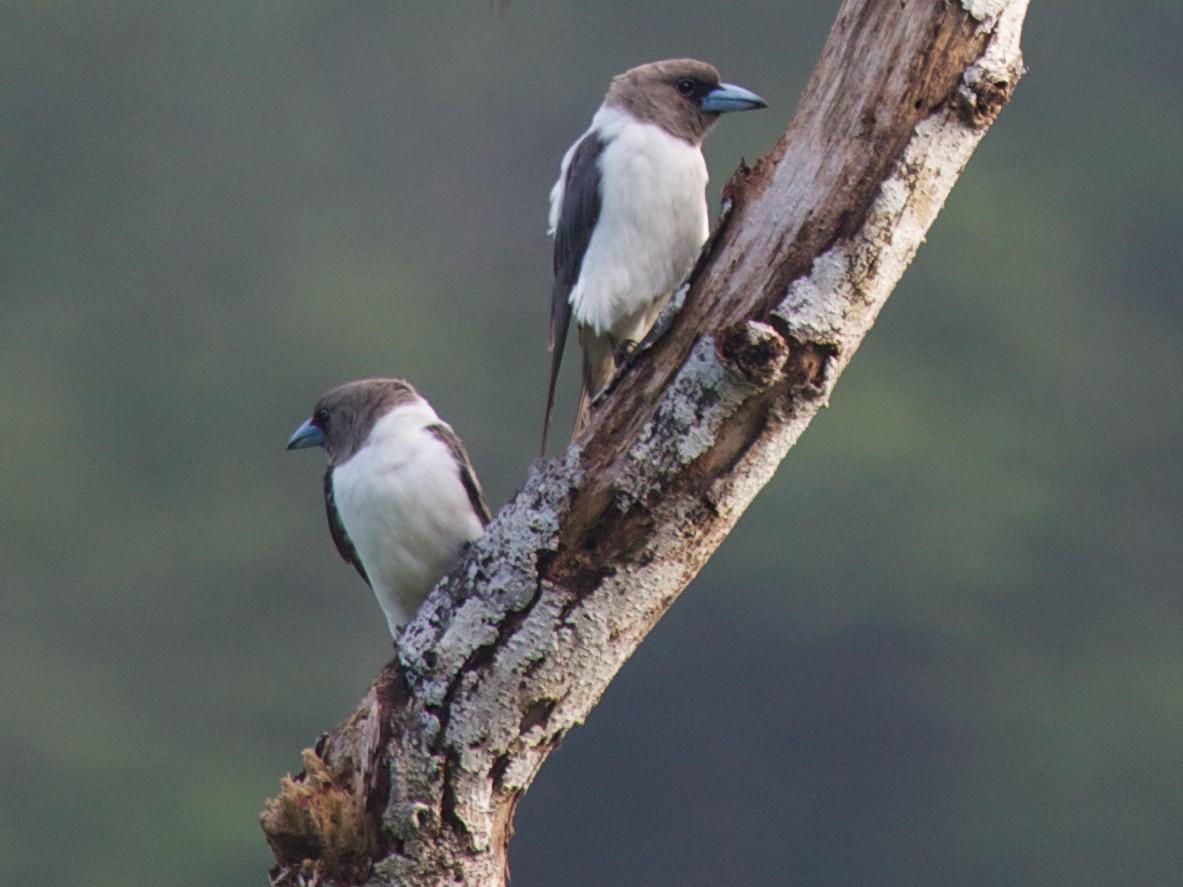 Ivory-backed Woodswallow - Eric Barnes