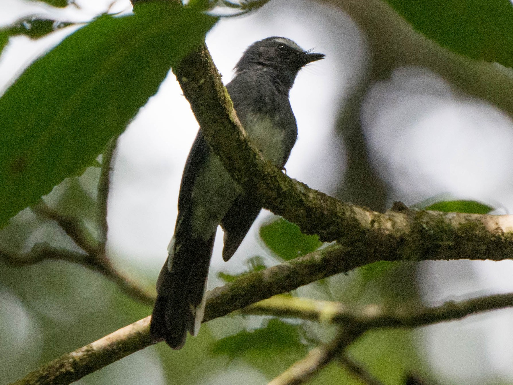 White-bellied Fantail - P. S. Lansley