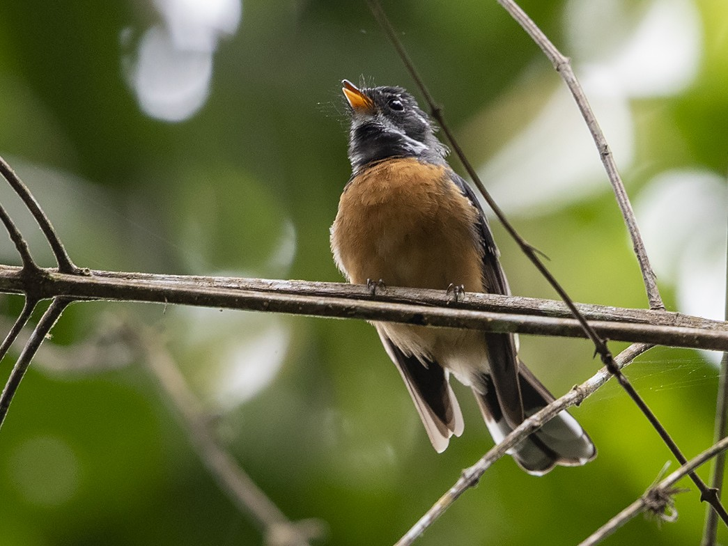 Chestnut-bellied Fantail - Niall D Perrins