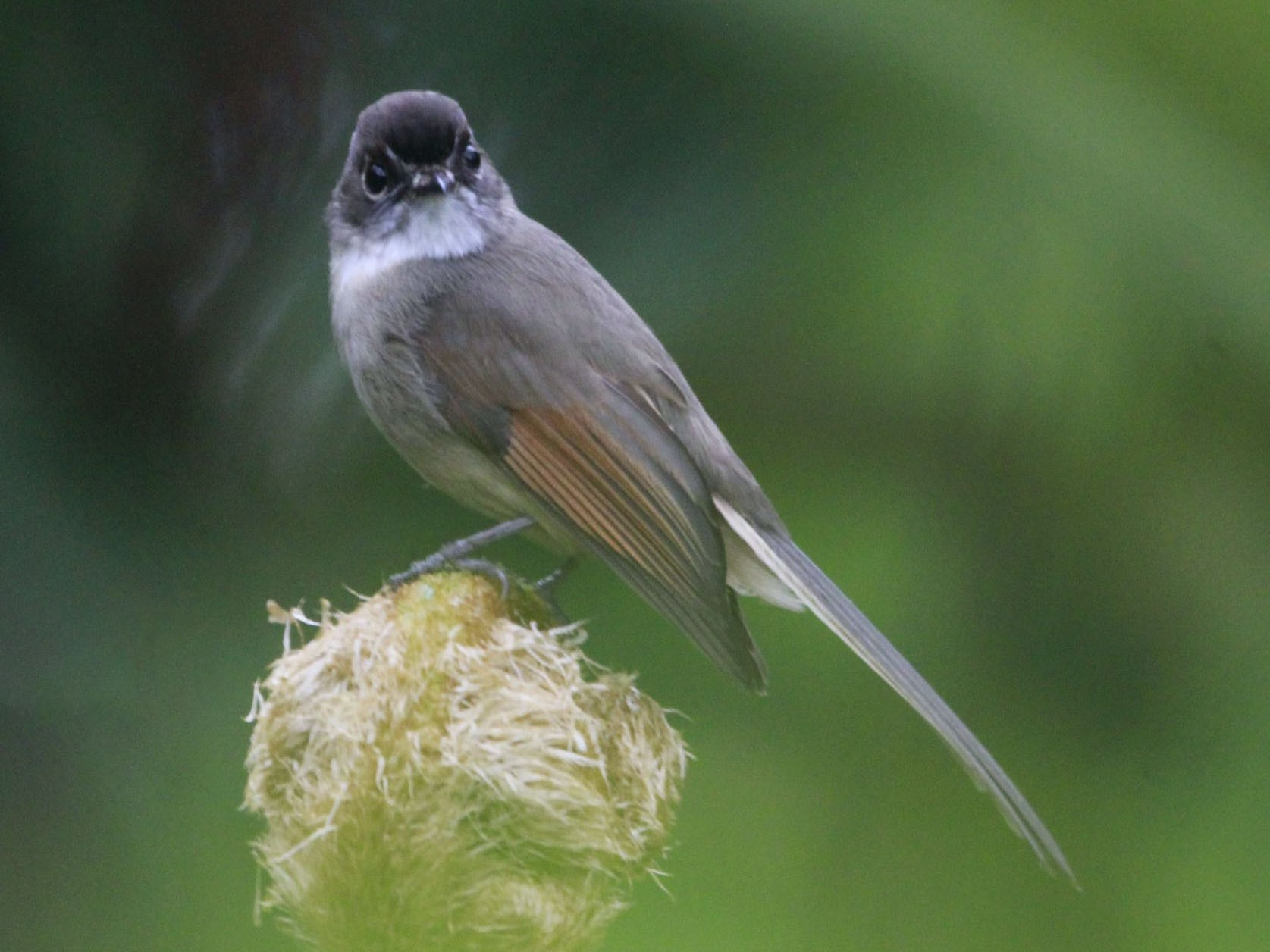 Brown-capped Fantail - Yovie Jehabut