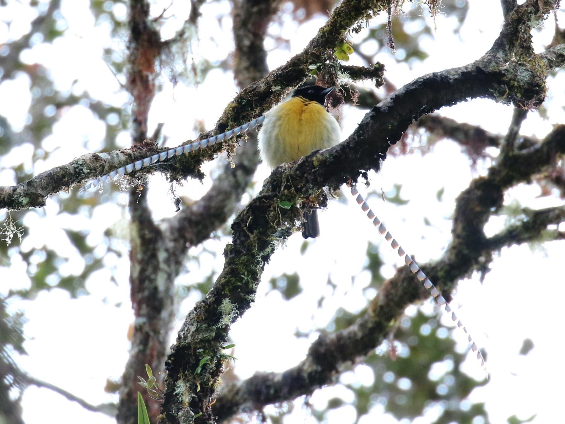 King-of-Saxony Bird-of-Paradise - Oscar Campbell