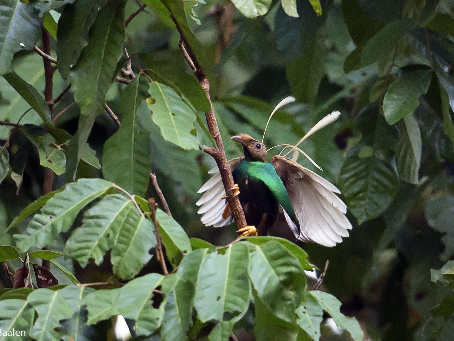 Standardwing Bird-of-Paradise - Jieles van Baalen