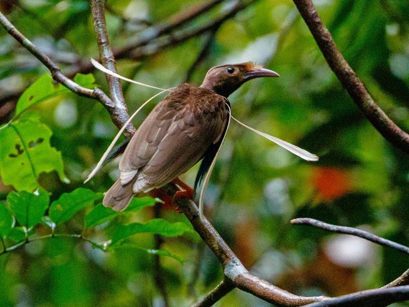 Standardwing Bird-of-Paradise - Andy Walker - Birding Ecotours