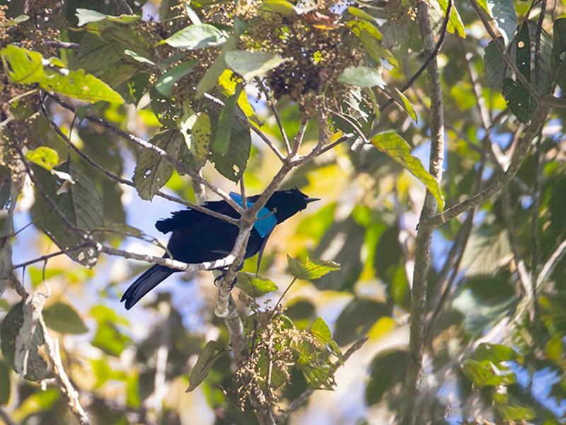 Vogelkop Lophorina - Jeroen Vanheuverswyn