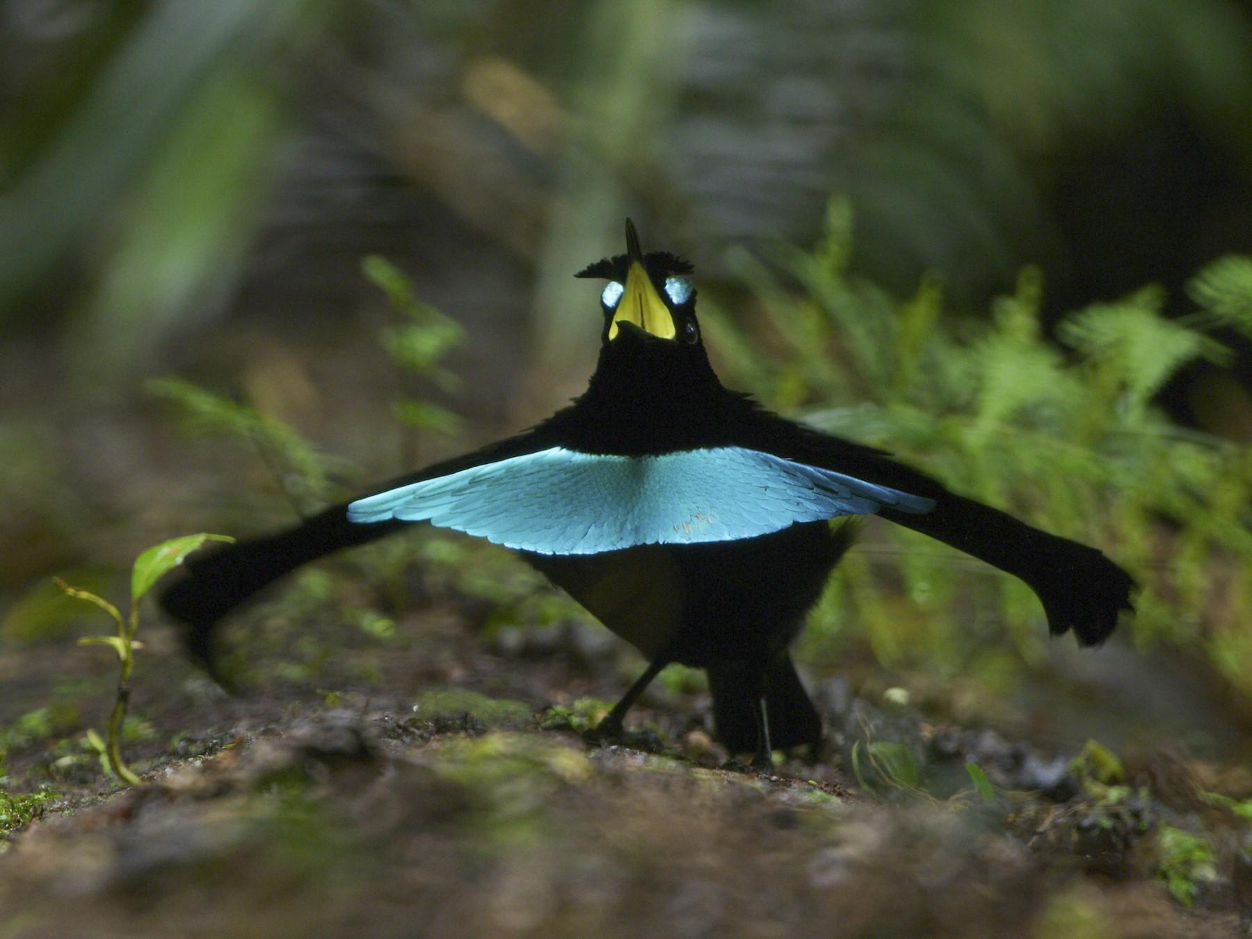 Vogelkop Lophorina - Tim Laman