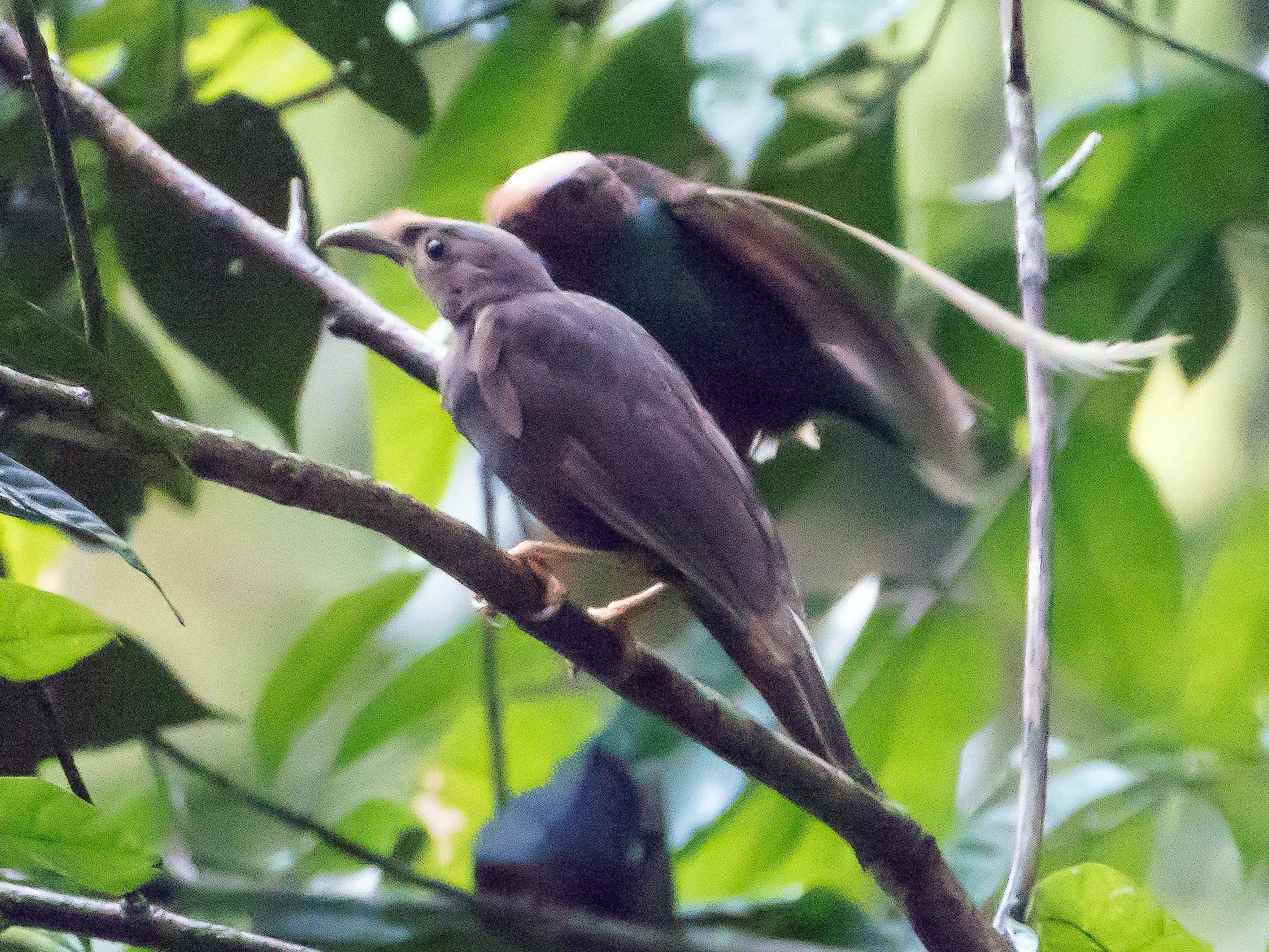 Standardwing Bird-of-Paradise - Bill Bacon