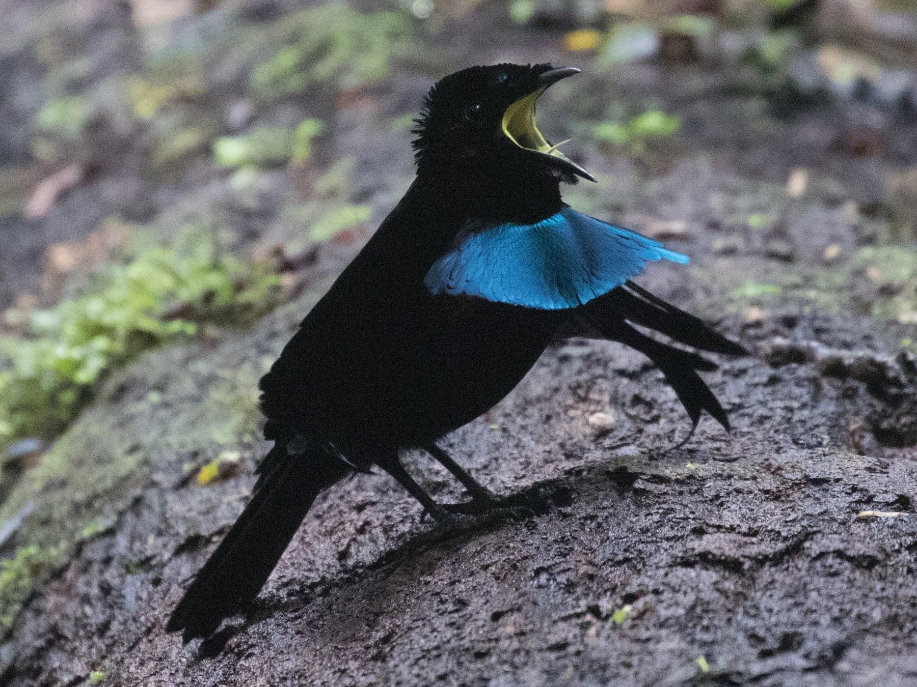 Vogelkop Lophorina - Ross Gallardy