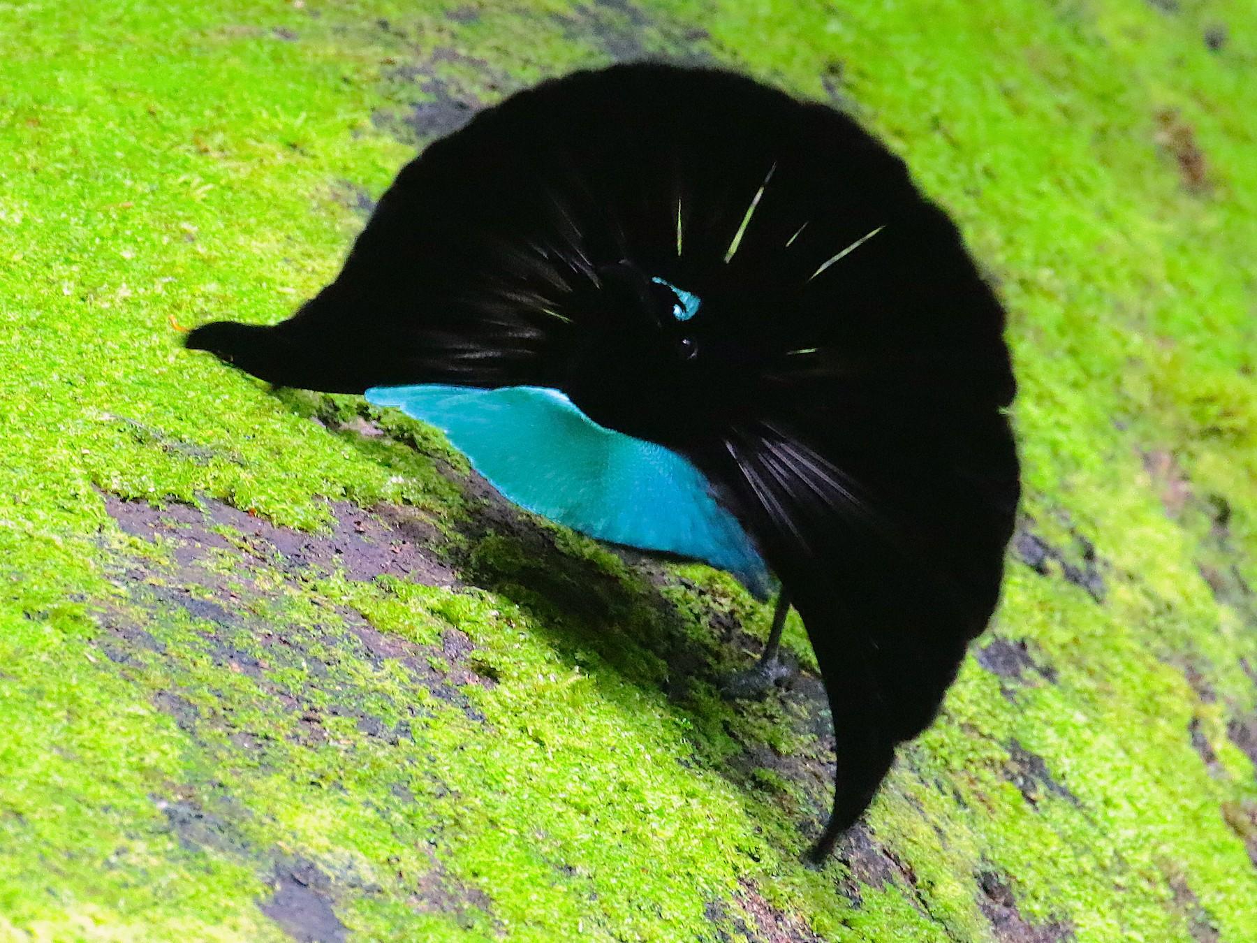 Vogelkop Lophorina - Arco Huang