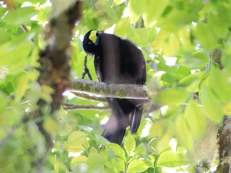 Long-tailed Paradigalla - Khaleb Yordan