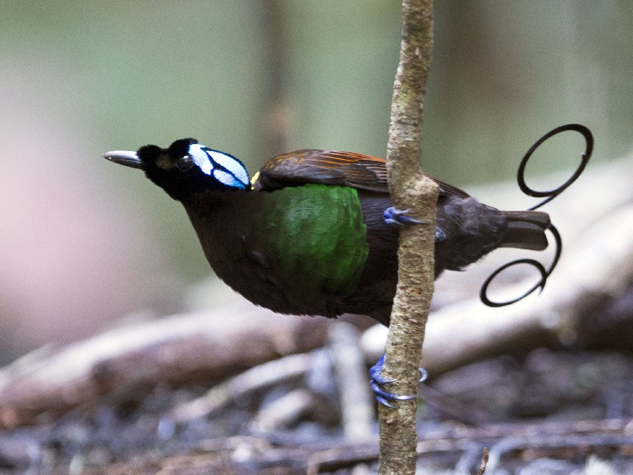 Wilson's Bird-of-Paradise - Thierry NOGARO
