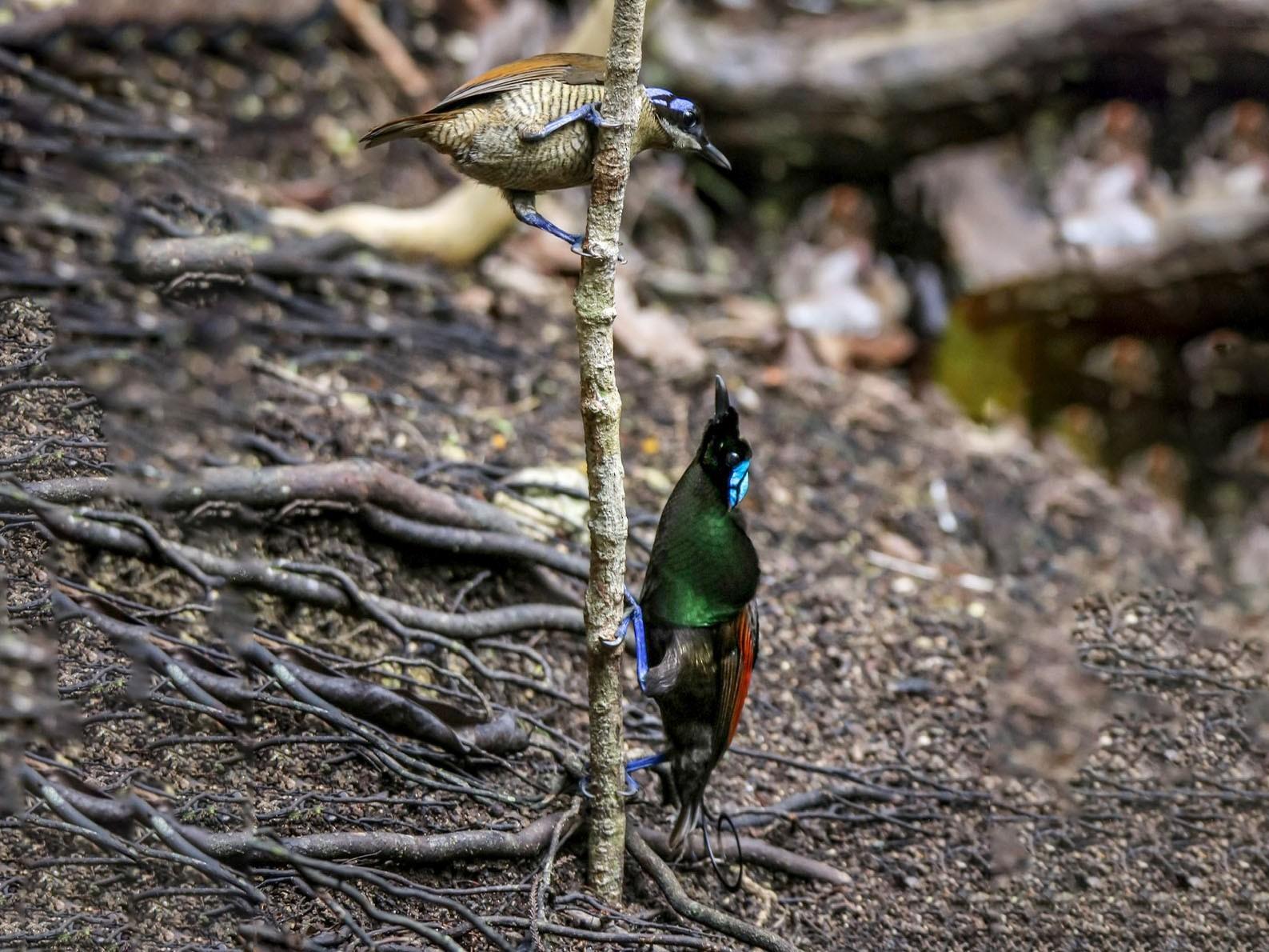 Wilson's Bird-of-Paradise - Docs In The Wild