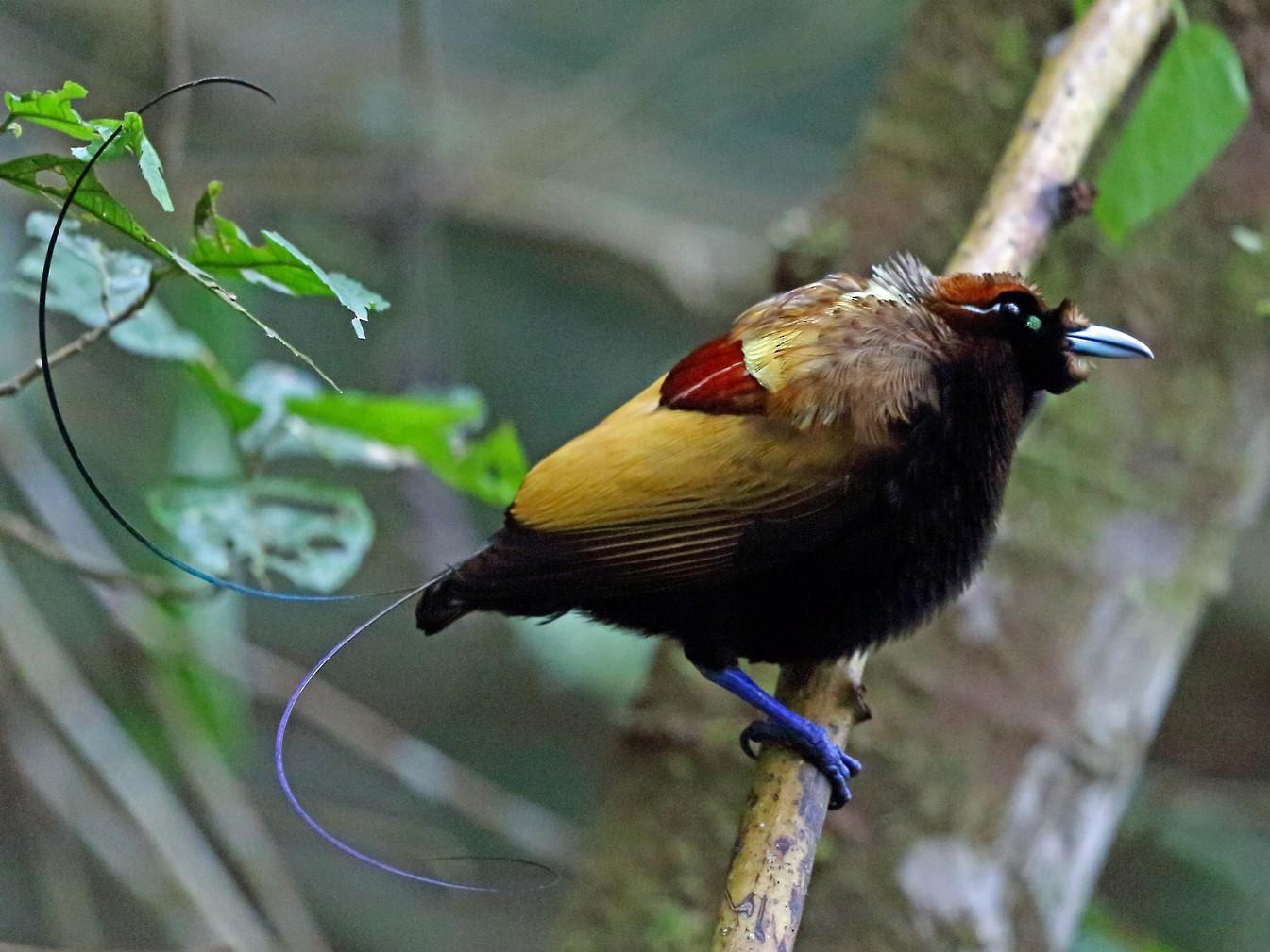 Magnificent Bird-of-Paradise - Nigel Voaden