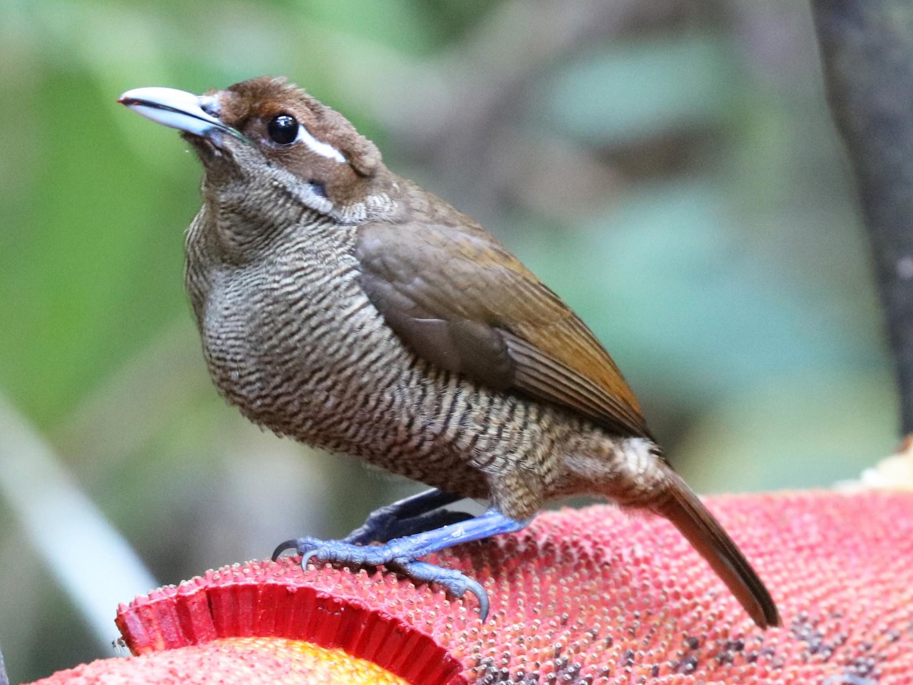 Magnificent Bird-of-Paradise - John Bruin