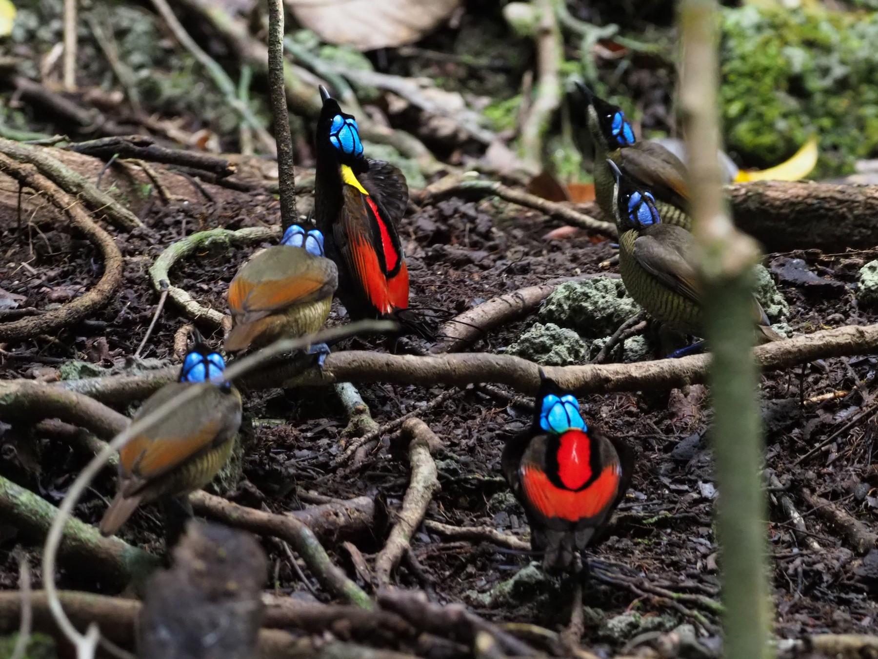 Wilson's Bird-of-Paradise - Stephan Lorenz