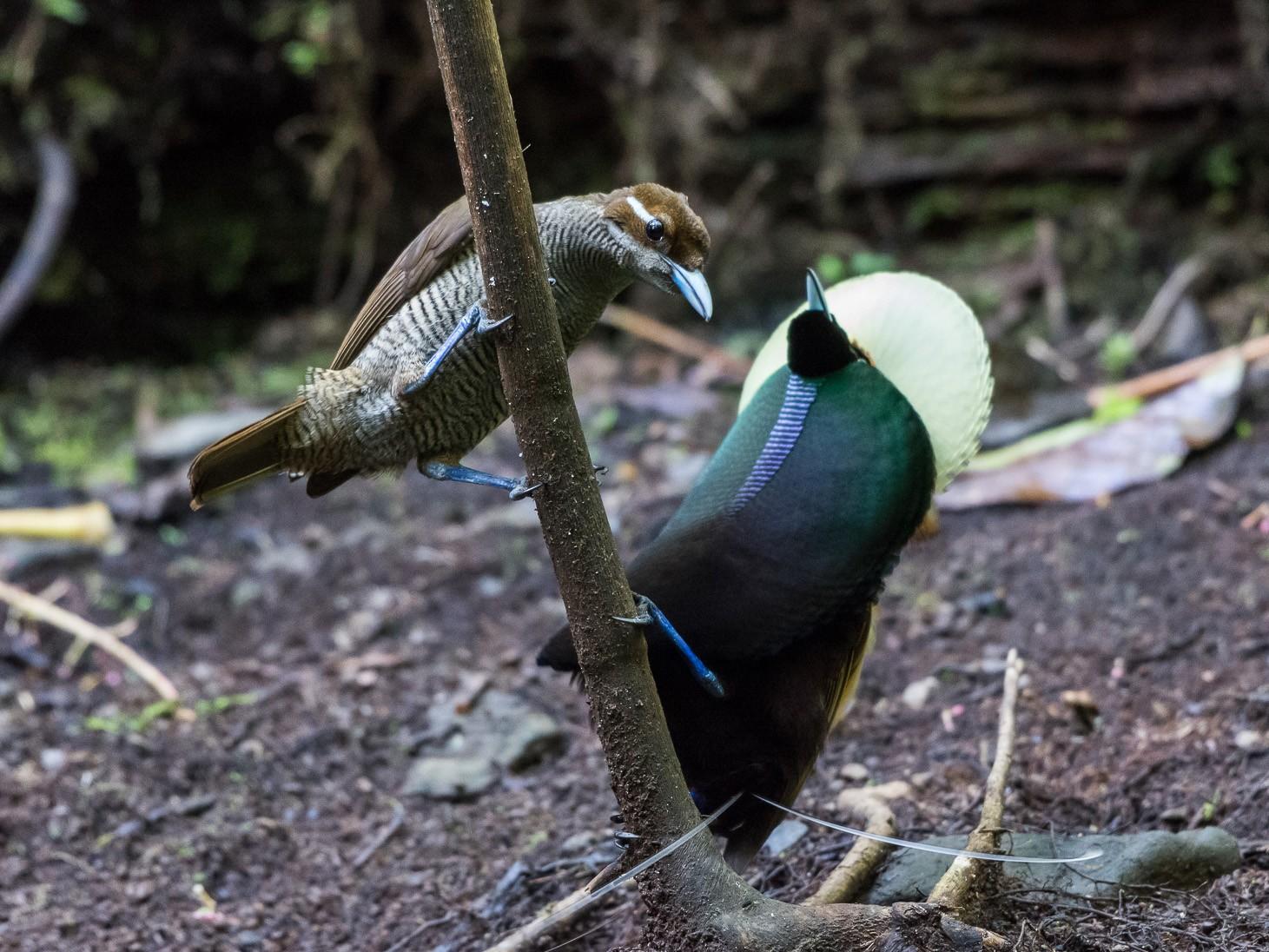 Magnificent Bird-of-Paradise - Lisa & Li Li