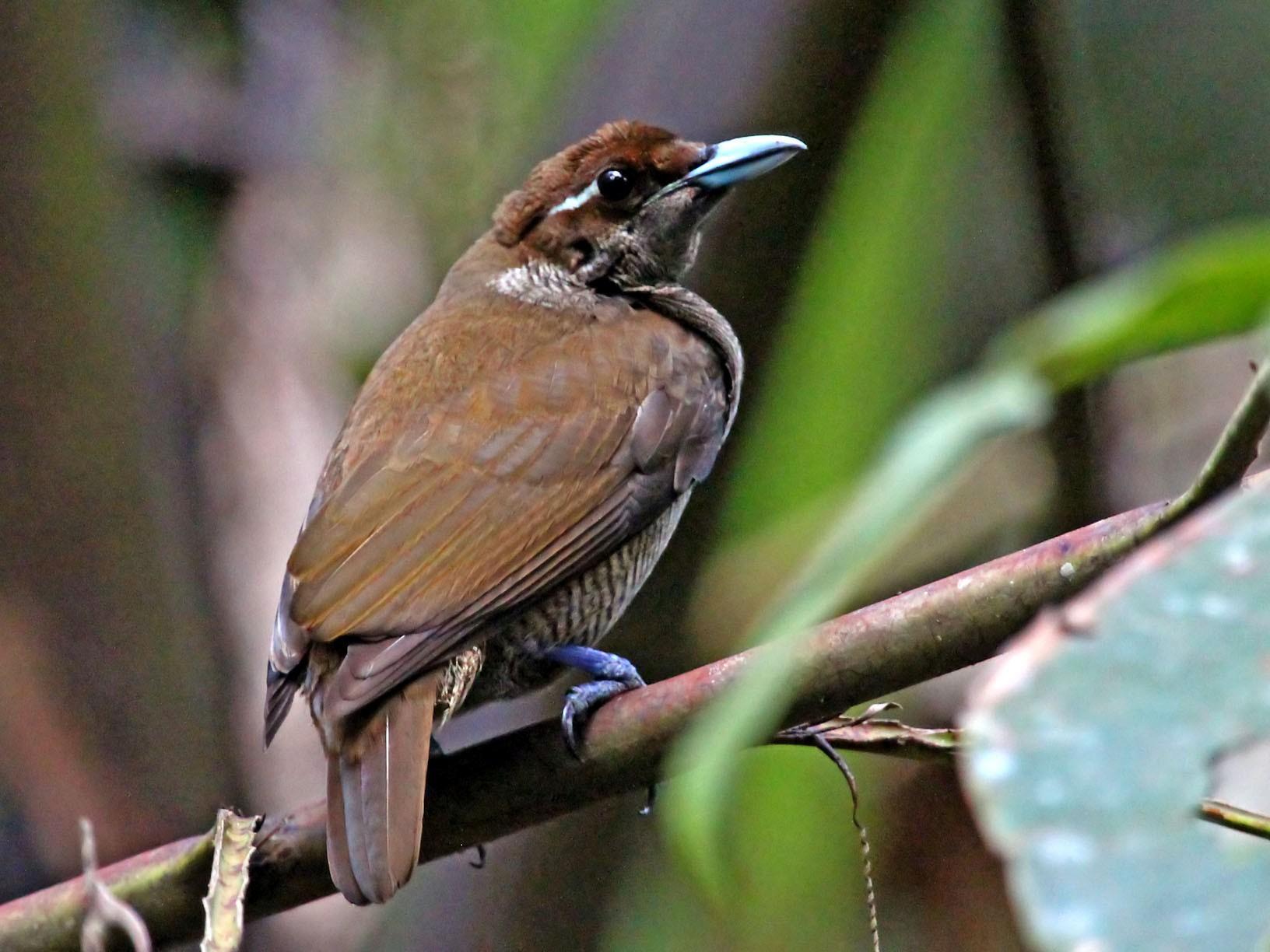 Magnificent Bird-of-Paradise - Phillip Edwards