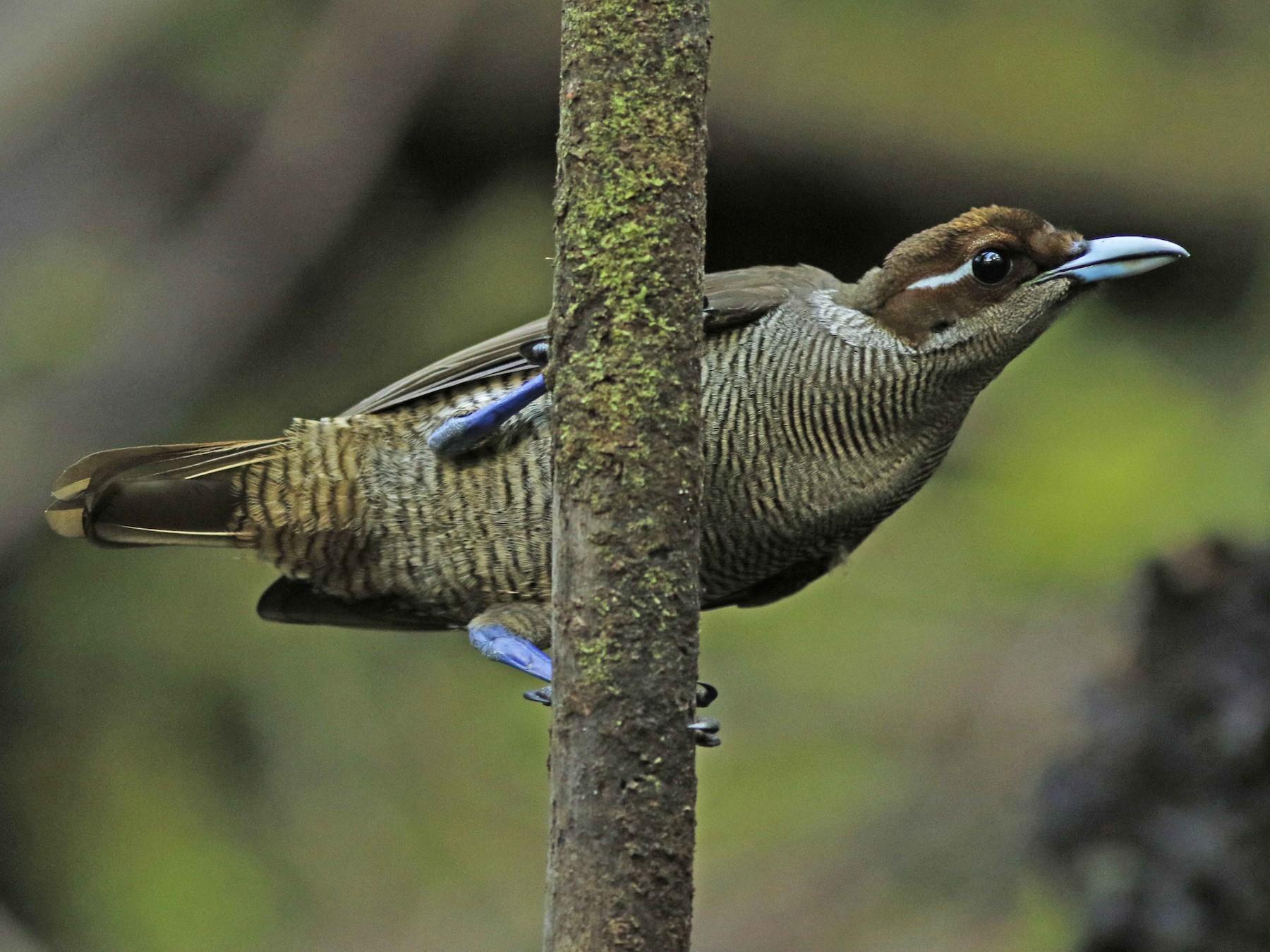 Magnificent Bird-of-Paradise - David Beadle