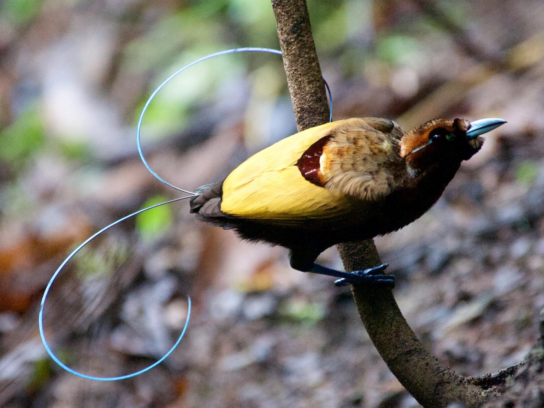 Magnificent Bird-of-Paradise - John C. Mittermeier