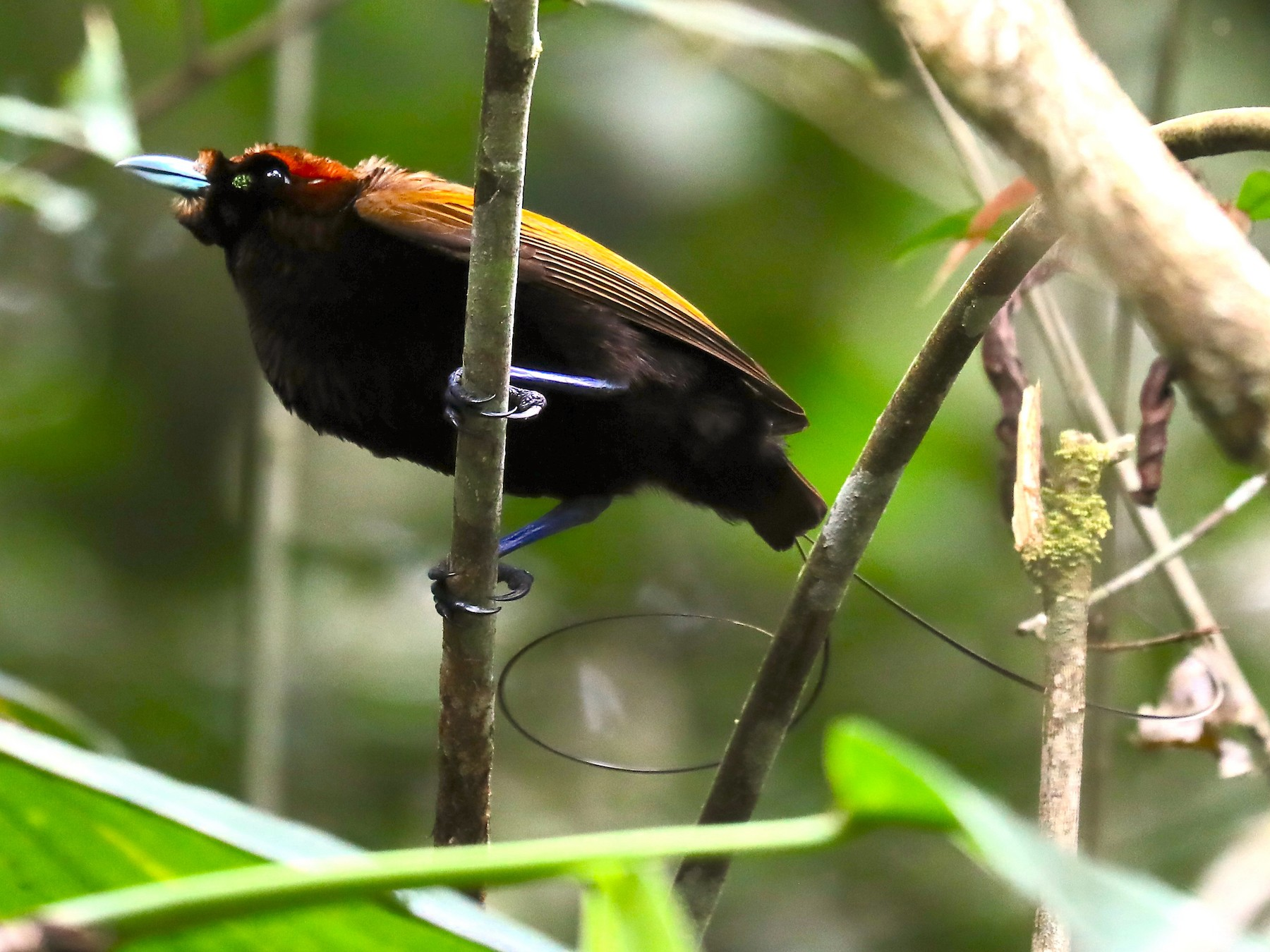 Magnificent Bird-of-Paradise - Arco Huang
