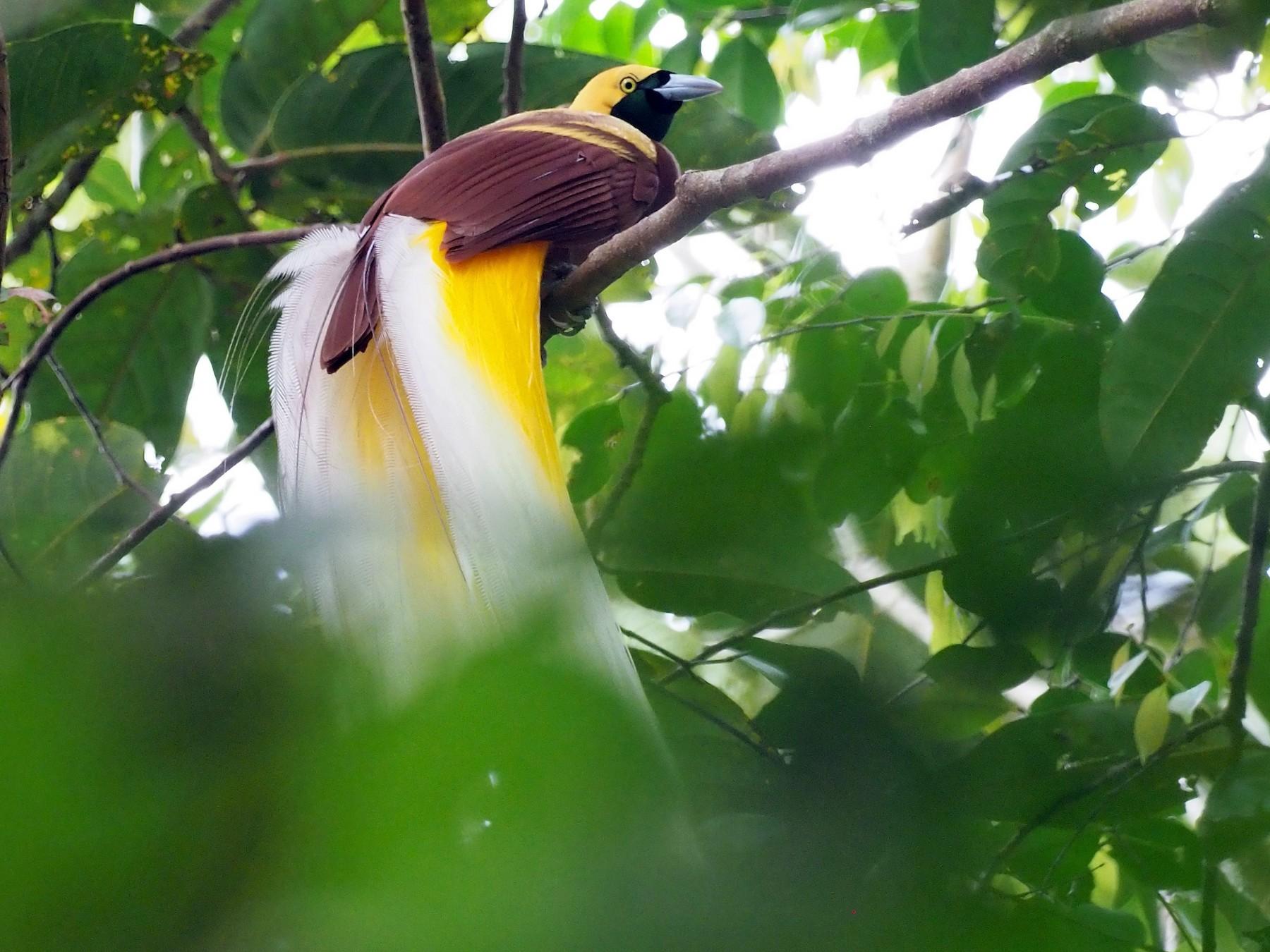 Lesser Bird-of-Paradise - Richard Pollard