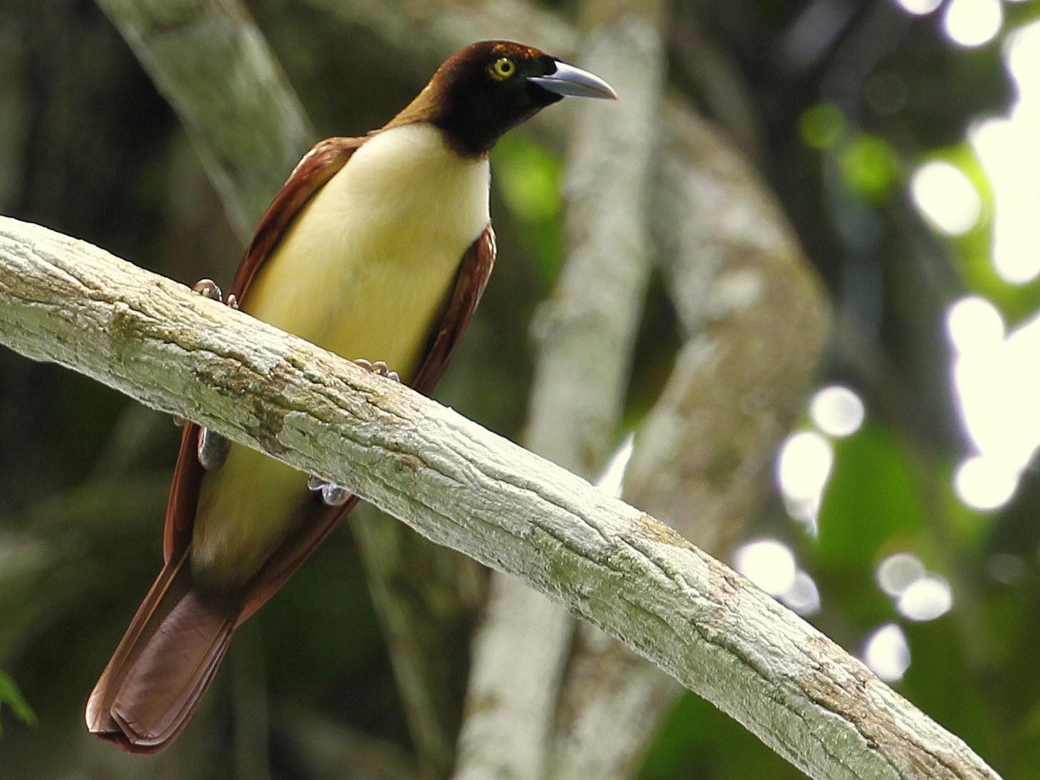 Lesser Bird-of-Paradise - Carmelo López Abad