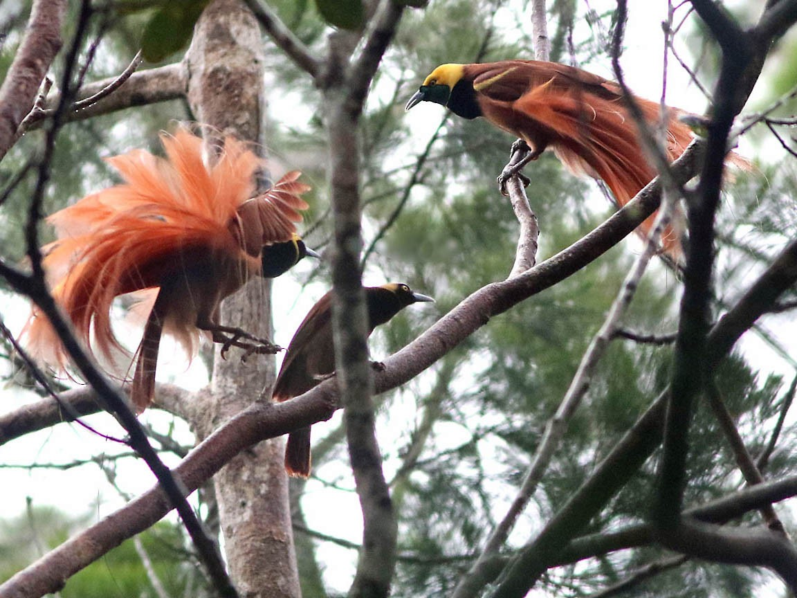 Raggiana Bird-of-Paradise - Don Roberson