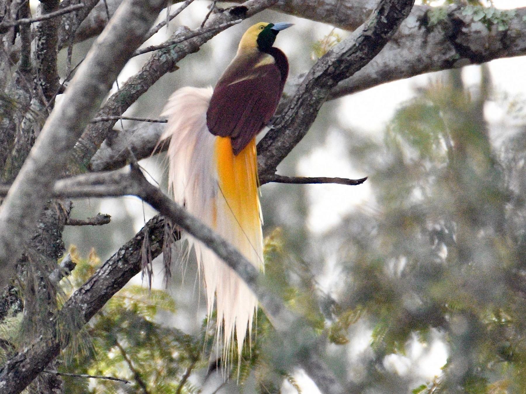Lesser Bird-of-Paradise - Jacques Erard