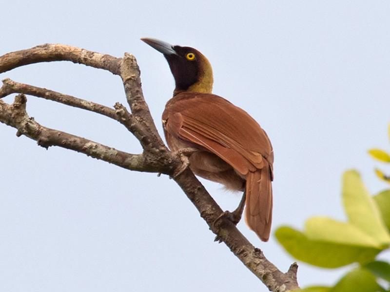 Raggiana Bird-of-Paradise - Lars Petersson