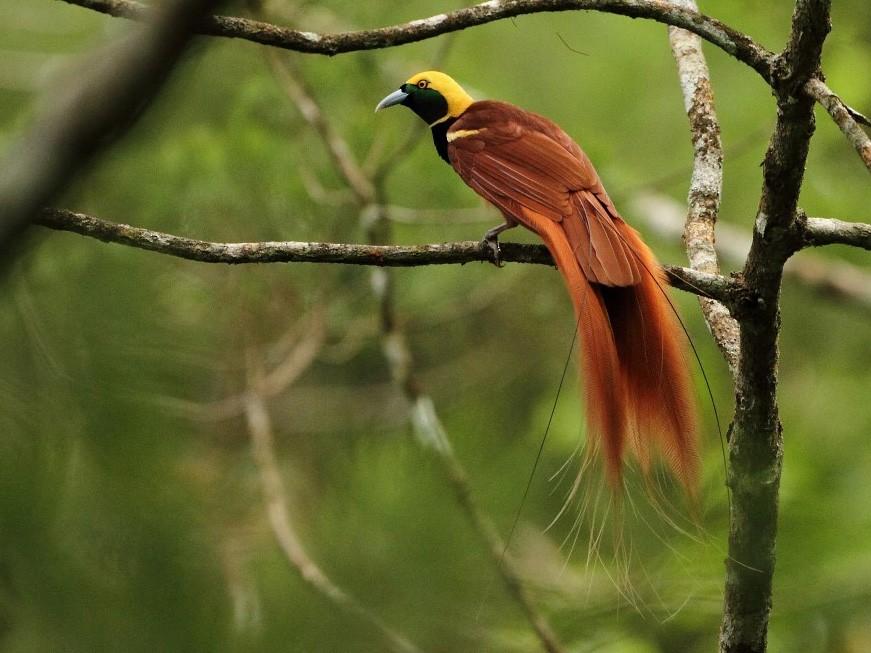 Raggiana Bird-of-Paradise - Markus Lilje